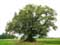 Lime Tree of the Motte (in Bodegn�e)