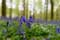 Flowers example Halle Forrest and bluebells