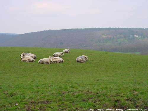 Hill landscape with Belgian White-Blue cows ESNEUX picture