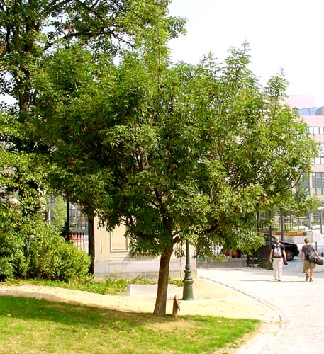 Sri Chinmoy Arbre de Paix BRUXELLES photo