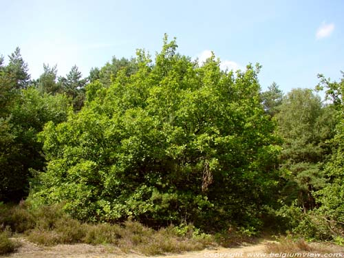Oak with short  bole OPGLABBEEK picture