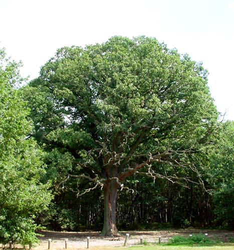 Old oak close to 1000 year old oak LUMMEN picture