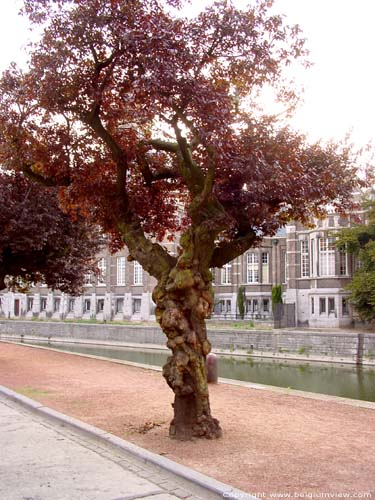 Arbre avec du cancer DENDERMONDE / TERMONDE photo