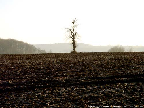 Tree in Field OUDENAARDE picture