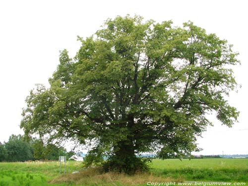 Lime Tree of the Motte (in Bodegnée) VERLAINE picture