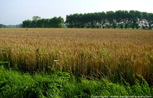 Landscape with Corn (in Kanegem) TIELT picture