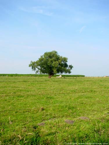 Landscape with tree (in Kanegem) TIELT picture