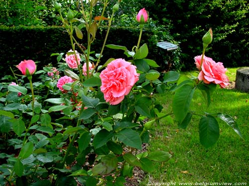 Rose Kanegem Pink TIELT photo