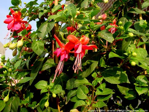 Fuchsia Caninga (in Kanegem) TIELT picture