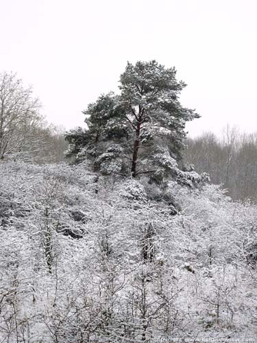 High tree with snow MATAGNE-LA-PETITE / DOISCHE picture