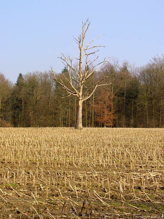 Dead lonely tree on field CERFONTAINE picture