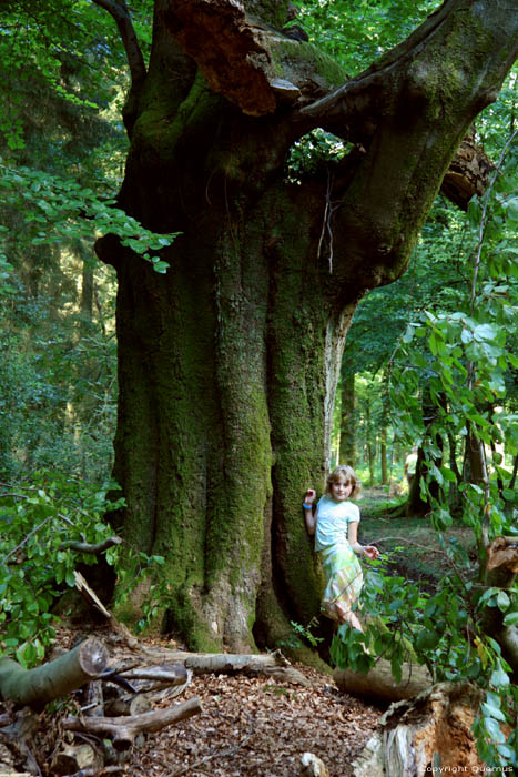 Large tree in forest VIROINVAL picture