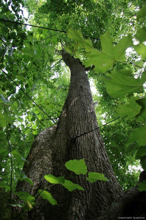 Baraque de conjoux tilleul grandes feuilles namur ciney photo - Tilleul a grandes feuilles ...