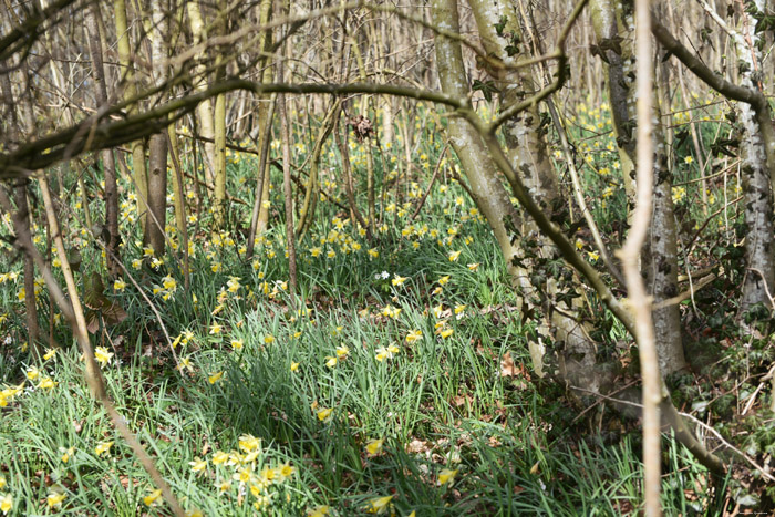Forest full of Daffodil VODELÉE / DOISCHE picture