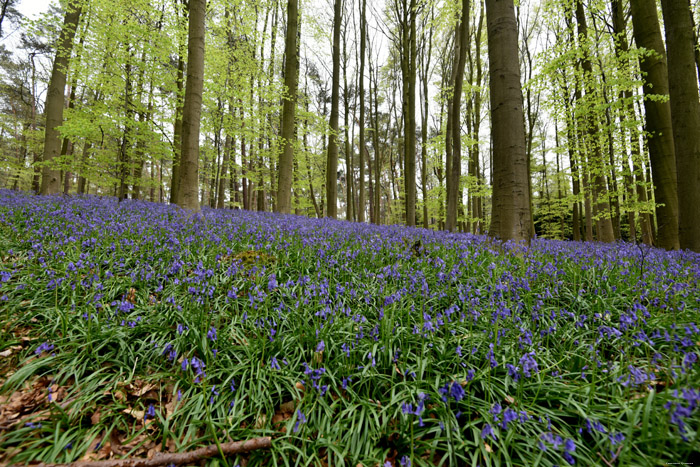 Halle Forrest and bluebells HALLE picture