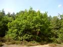 Oak with short  bole OPGLABBEEK picture: