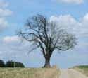 Gallows Tree (in Boirs) BASSENGE picture: Picture by anonymous photographer. Few trees between life and death!