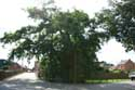 Liernu's Big oak-tree EGHEZEE picture: