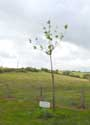 Saint-Martin (in Hour) HOUR / HOUYET picture: Tree planted for the yougth