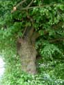 Two lime trees VERLAINE picture: