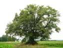 Lime Tree of the Motte (in Bodegnée) VERLAINE picture: