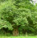 Chesnut trees AMAY picture: