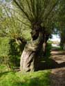 Line with Willows (te Oostkerke) DAMME picture: