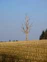 Dead lonely tree on field CERFONTAINE picture: