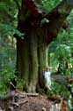 Large tree in forest VIROINVAL picture: