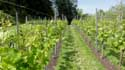 Saint Peter's abbey's wineyard GHENT picture: