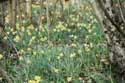 Forest full of Daffodil VODELÉE / DOISCHE picture: